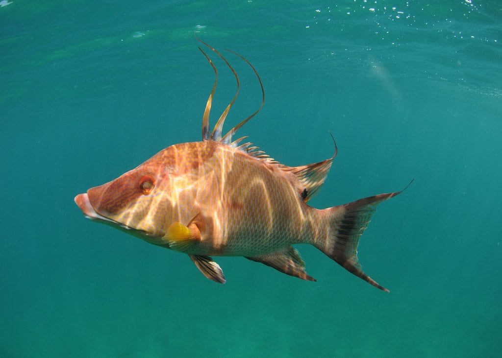 Hogfish recreational season closes Nov. 1 in Keys/east Florida state waters