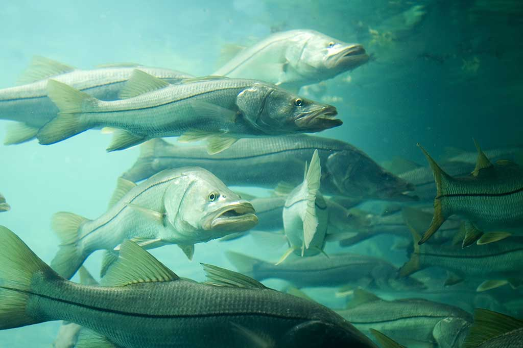 Best Fishing In Florida: All About the Snook
